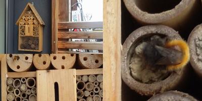 Wildbiene beim Einzug ins Bienenhotel